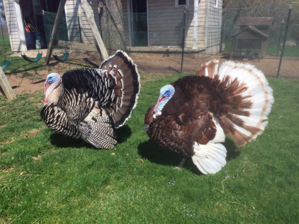 randonneuring 300km turkeys
